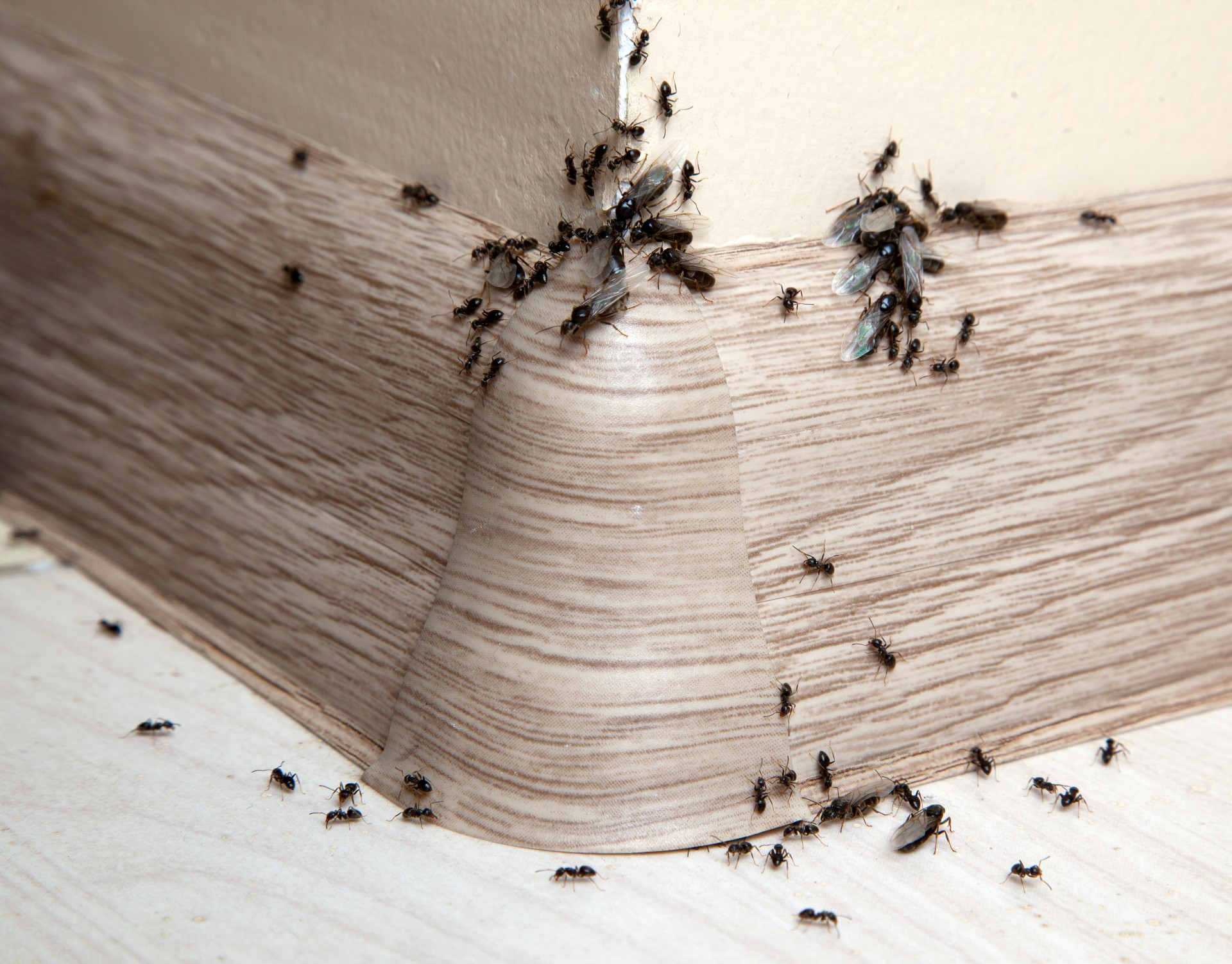 Ant Infestation, Pest Control in Ashtead, KT21. Call Now 020 8166 9746