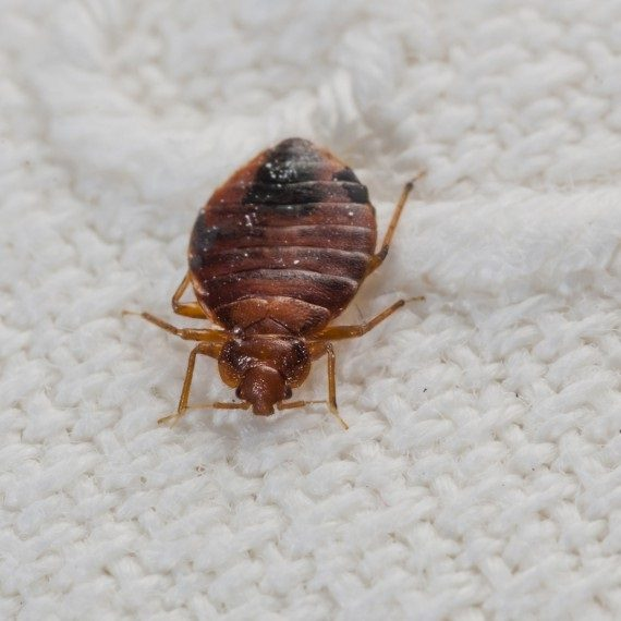 Bed Bugs, Pest Control in Ashtead, KT21. Call Now! 020 8166 9746