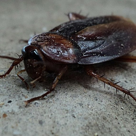 Cockroaches, Pest Control in Ashtead, KT21. Call Now! 020 8166 9746