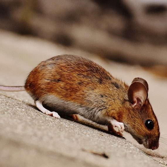 Mice, Pest Control in Ashtead, KT21. Call Now! 020 8166 9746