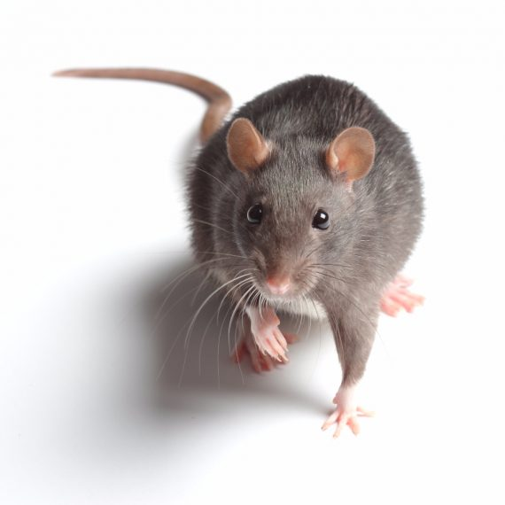 Rats, Pest Control in Ashtead, KT21. Call Now! 020 8166 9746