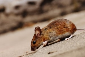 Mouse extermination, Pest Control in Ashtead, KT21. Call Now 020 8166 9746