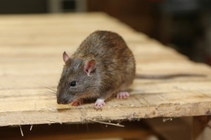 Mice Infestation, Pest Control in Ashtead, KT21. Call Now 020 8166 9746
